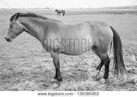 European wild horse in black and white.
