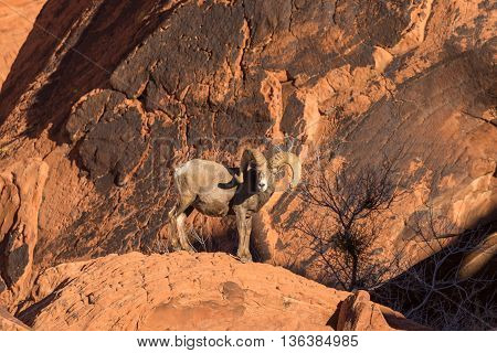 a desert bighorn sheep ram in red rocks