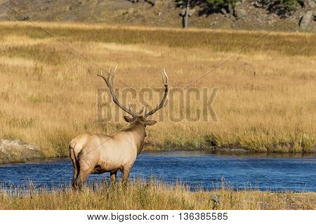 a bull elk next to river during the fall rut