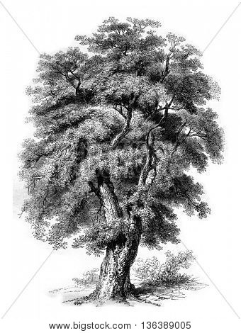 Oak cork of Spain, vintage engraved illustration. Magasin Pittoresque 1852.