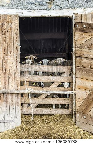 LE VERNET FRANCE - JUNE 3 2016: nosy goats are looking out of the stable. The Provence area is famous for its chevre the goat cheese.
