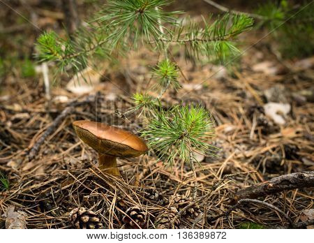 Fall mushroom in the forest, summer time background
