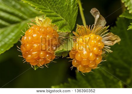Close up of two yellow wild raspberries.
