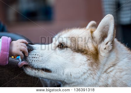 husky pet dog with brown and white fluffy hair and cute face touched by kid hand closeup