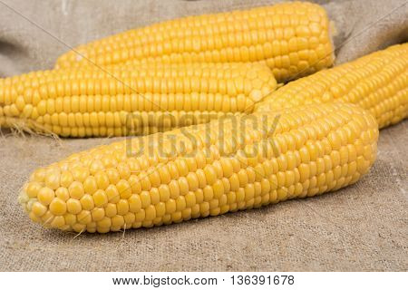 Raw fresh corn on the cob no leaves on sackcloth closeup