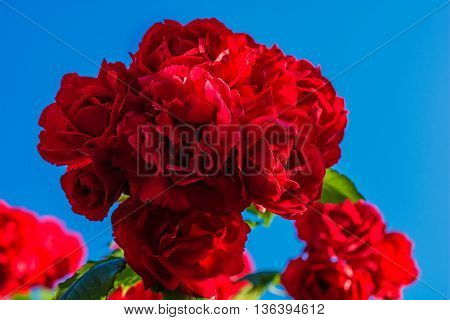 red roses on sunny sky background. close up