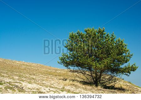 lonely pine tree on the sand hill in summer day