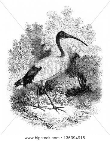 Museum of Natural History, Ibis alive, vintage engraved illustration. Magasin Pittoresque 1852.