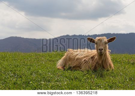 Red sheep lies on a green meadow. Animals