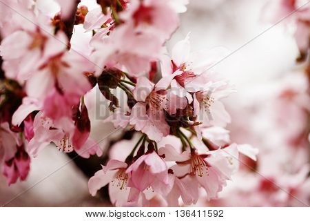 Pink cherry blossoms in garden outdoors close up