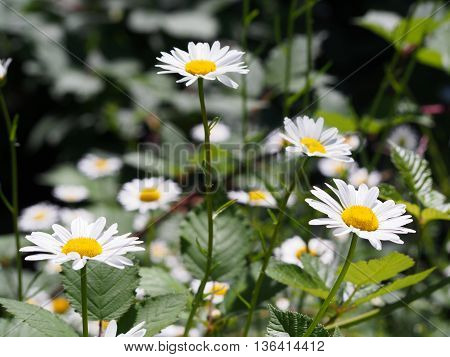 White Daisies in field, white wildflowers, perennials