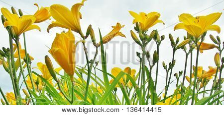 Yellow Day Lilies against Blue Sky, Yellow Day Lilies
