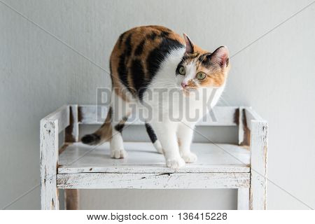Cute calico cat sitting and looking on old wood shelf