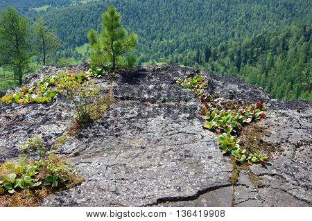 Medicinal plant bergenia crassifolia in wood.Plant bergenia crassifolia