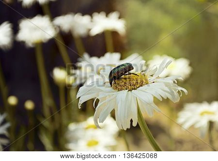 Bug and camomile. The bug creeps on a camomile flower. Average plan. Shooting time - summer midday. Emphasis of attention in the foreground. Outdoors. Horizontal format. Color. Photo.