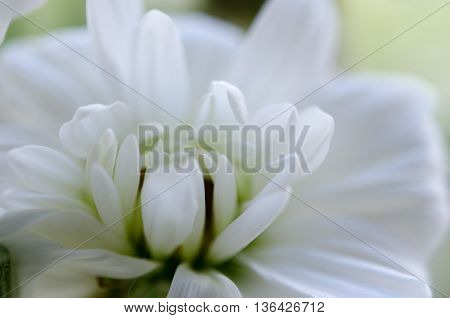 White Chrysanthemum Macro