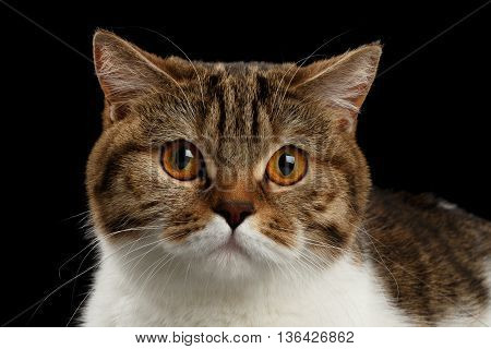Closeup Portrait of Cute Scottish Straight Male Cat Face on Isolated Black Background, Front view, Curious Looking in Camera Tabby with white Cat