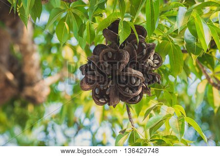 Cacao tree with brown fruits, Bali, Indonesia