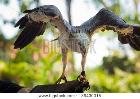 Bald eagle perched on a hand with spread wings