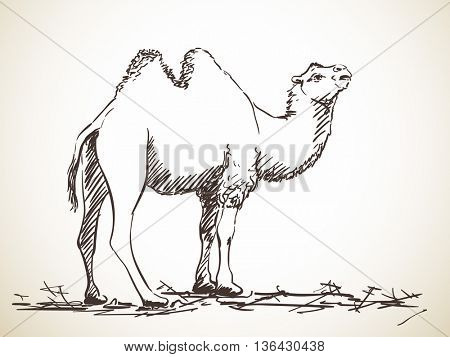 Sketch of two-hump camel, Hand drawn illustration