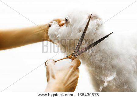 Cute Maltese dog enjoying haircut in salon.