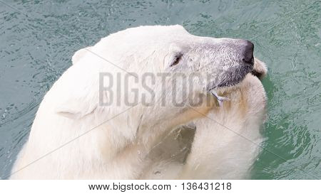 Close-up Of A Polarbear (icebear) Eating A Fish