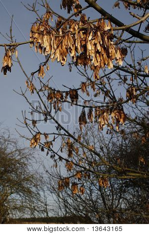 sycamore seeds haging from tree