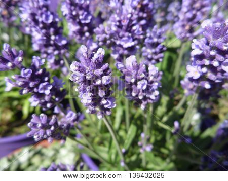 Detail Of Violet Lavander In Blossom