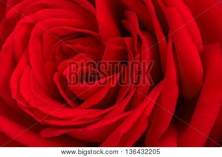 big flower bud a red rose closeup
