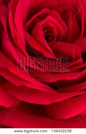 petals of a beautiful red rose closeup