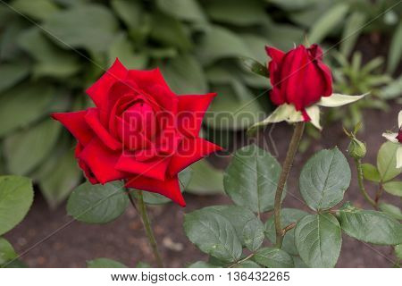 beautiful red rose blossom in the garden