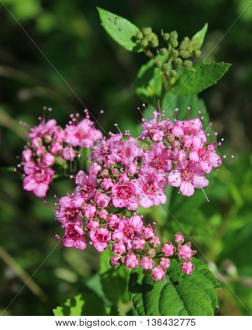 The lovely pink flowers of Spirea japonica 'Little Princess' also known as japanese meadowsweet.