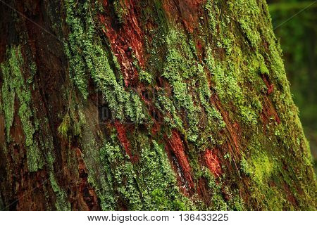 a picture of an exterior Pacific Northwest old growth Western red cedar tree trunk with moss