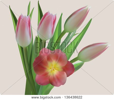 illustration with pink tulip flowers isolated on light background