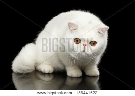 Unusual Pure White Exotic Cat with Big Red Eyes on Isolated Black Background Front view Curious fascinated Looking up