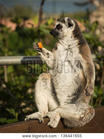 Lemur Eating Carrot, Athens, Greece