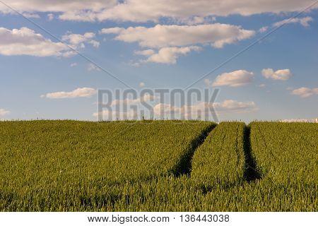 Path Threw Th Rye Field In Belarus