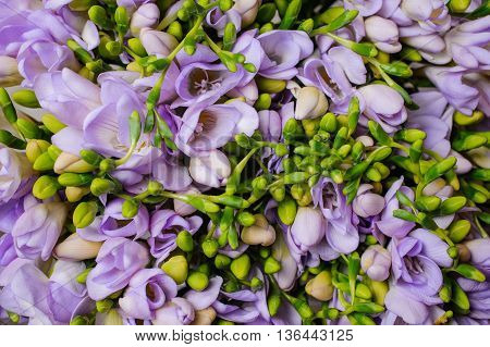 Purple freesia flower background top view close up
