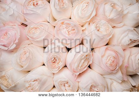 Background image of a fresh light pink roses . flower texture