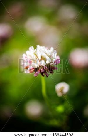 Close pu of white and pink clover
