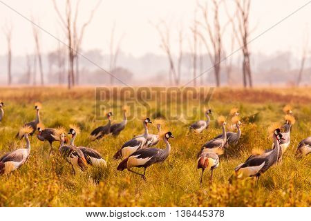 Flock Of Crowned Cranes In South Luangwa Zambia