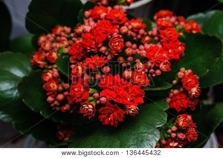 red kalanchoe flower close up horizontal photo