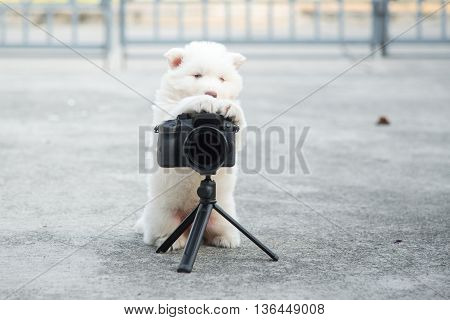 White siberian husky puppy taking a photo