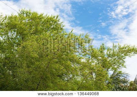 Bamboo tree leaves clouds and the blue sky