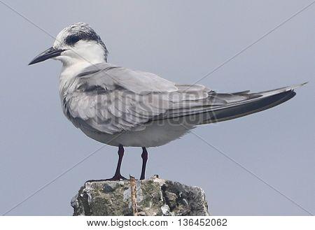 non-breeding Whiskered Tern, Thale Noi Waterfowl Park, Thailand