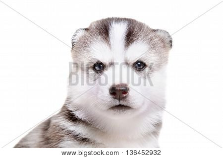 Portrait of  a cute puppy breed Husky isolated on white background