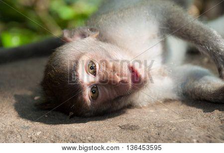 Monkey in Ubud's monkey forest in Bali island