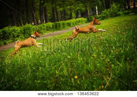 two dogs of the Basenji breed happily running around on the grass in the summer outdoors chasing each other