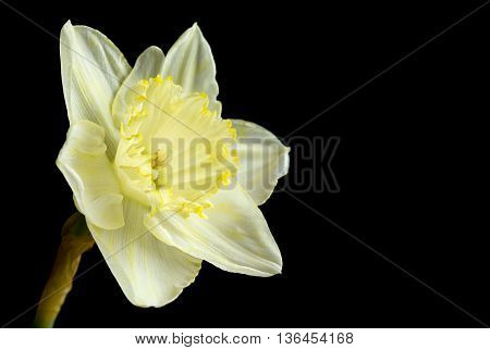 Pale yellow daffodil on a black background