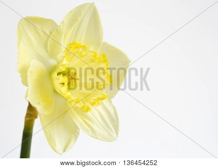 Pale yellow daffodil on a white background